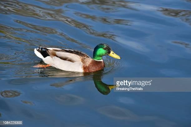 male mallard duck swimming in lake - germano reale foto e immagini stock