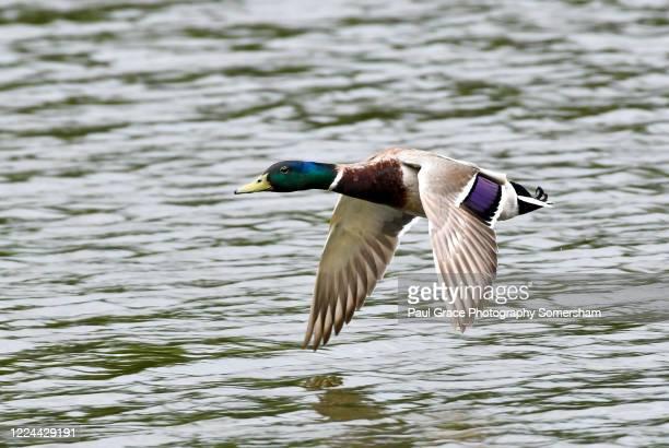 male mallard landing. - drake stock pictures, royalty-free photos & images