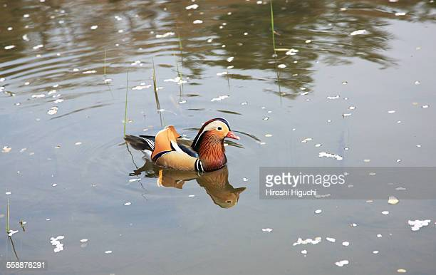 male mandarin duck - hirosaki castle stock pictures, royalty-free photos & images