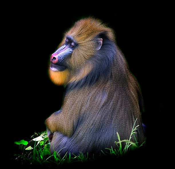 Male Mandrill Wall Art