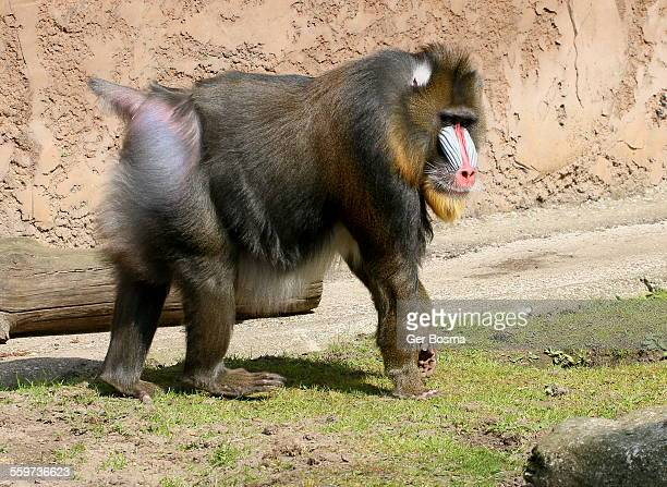 male mandrill - big bums stock photos and pictures