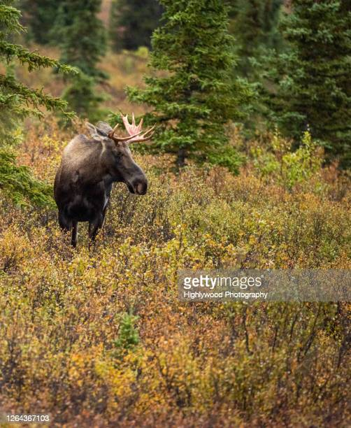 male moose in denali - highlywood stock pictures, royalty-free photos & images