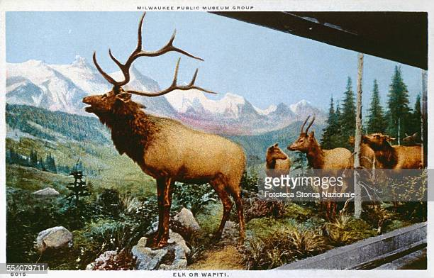' A male moose leads his flock and seems to defy with his attitude the male of another flock near The environment depicted is a forest of North...