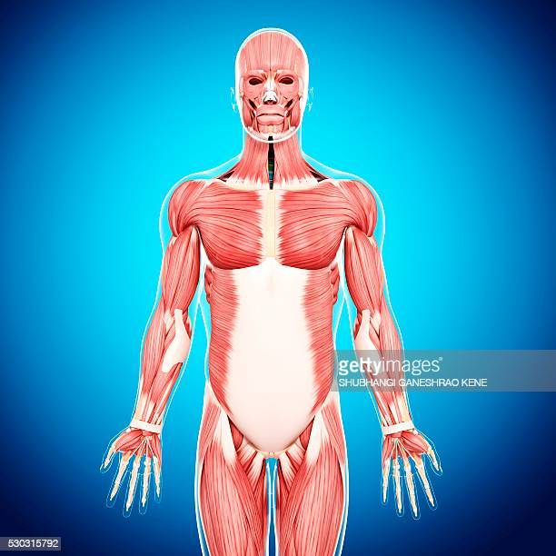 male musculature, computer artwork. - vastus lateralis stock pictures, royalty-free photos & images