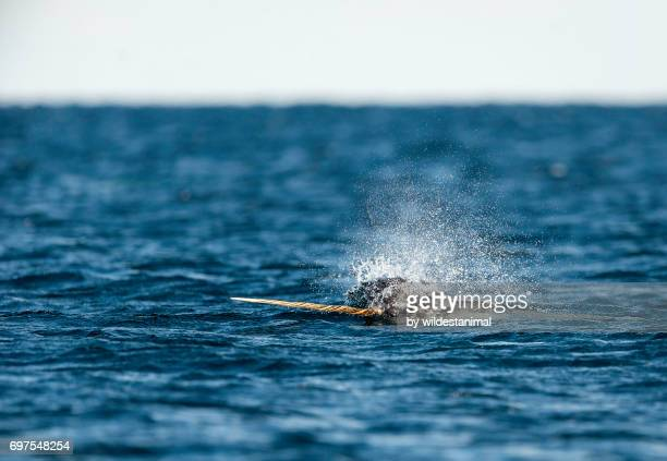 male narwhal with it's tusk out of the water, baffin island, canada. - narwhal stock photos and pictures