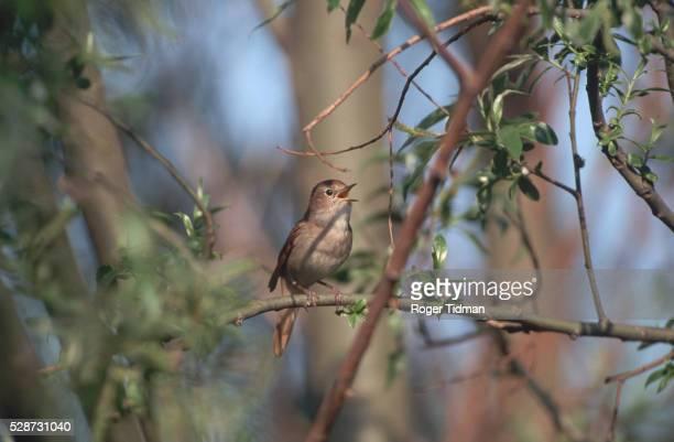 Male Nightingale Singing