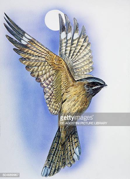Male Nightjar during courtship display with wings held in a Vshape and tail fanned Caprimulgidae drawing