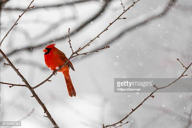 cardinal stock photos and pictures getty images