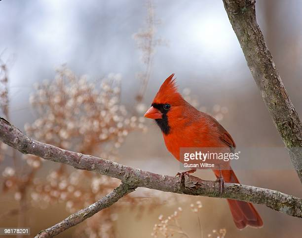 Male Northern Cardinal in Soft Glow