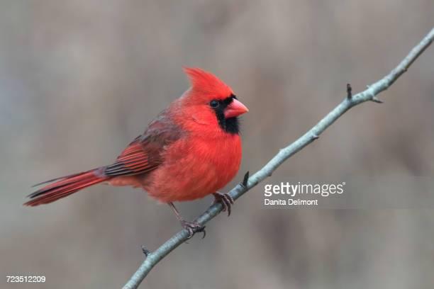 male northern cardinal in winter (cardinals cardinals), kentucky, usa - cardinal bird stock photos and pictures