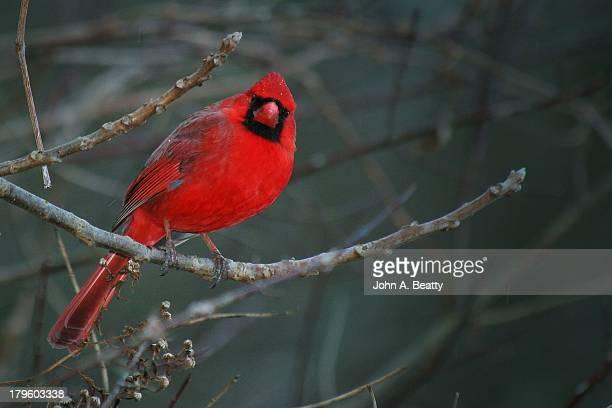 male northern cardinal - cardinal bird stock photos and pictures