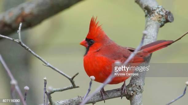 male northern cardinal (cardinalis cardinalis) - tierisches verhalten stock-fotos und bilder