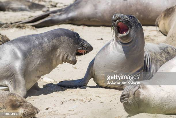 Male Northern elephants seals (mirounga angustirostris) sparring, Ano Nuevo State Park, Pescadero, California, United States, North America