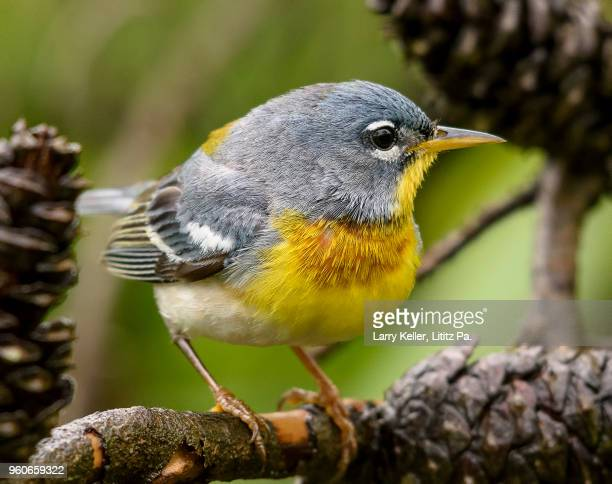 a male northern parula warbler during the spring migration in pennsylvania - songbird stock pictures, royalty-free photos & images