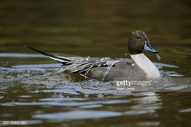 Male northern pintail duck (Anas acuta) on lake, side view