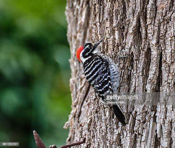 Male nuttall's woodpecker on tree trunk