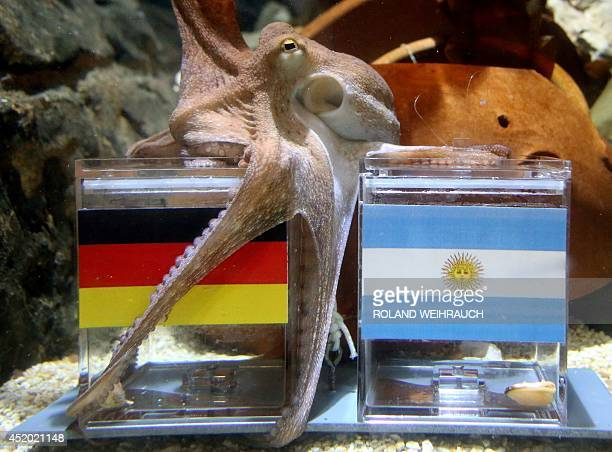 Male octopus 'Kleiner Paul' embraces with its tentacles a feeding box covered with the German flag next to a box with the Argentinian flag during an...