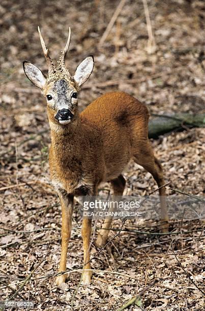 Male of European roe deer Cervidae