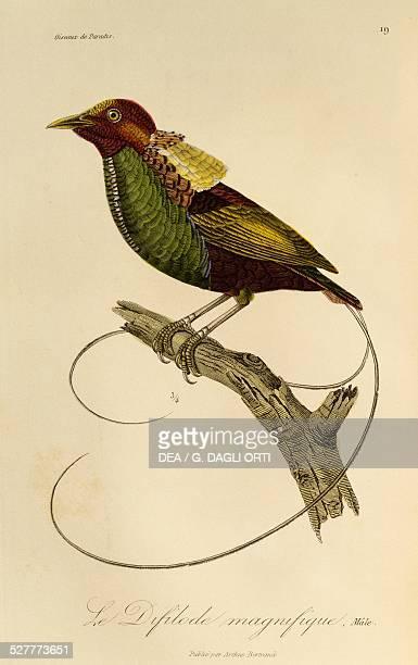 Male of Magnificent Bird-of-paradise , engraving from the Histoire naturelle des oiseaux de paradis et des epimagues by Rene-Primevere Lesson ....