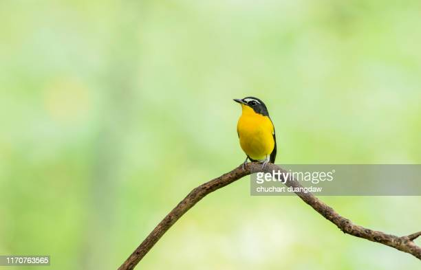 male of yellow-rumped flycatcher (ficedula zanthopygia) beautiful bird with perched on a branch - perching stock pictures, royalty-free photos & images