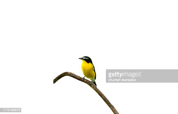 male of yellow-rumped flycatcher (ficedula zanthopygia) beautiful bird with perched on a branch white background - pájaro tropical fotografías e imágenes de stock