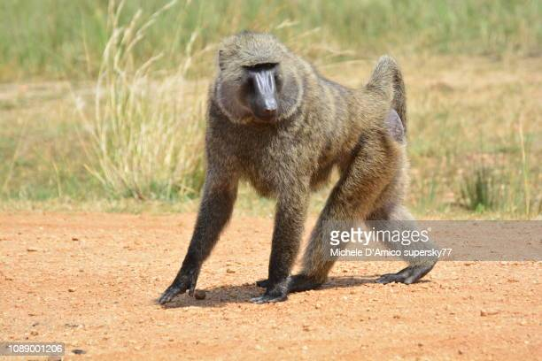 male olive baboon walking in the sunshine - baboon stock pictures, royalty-free photos & images