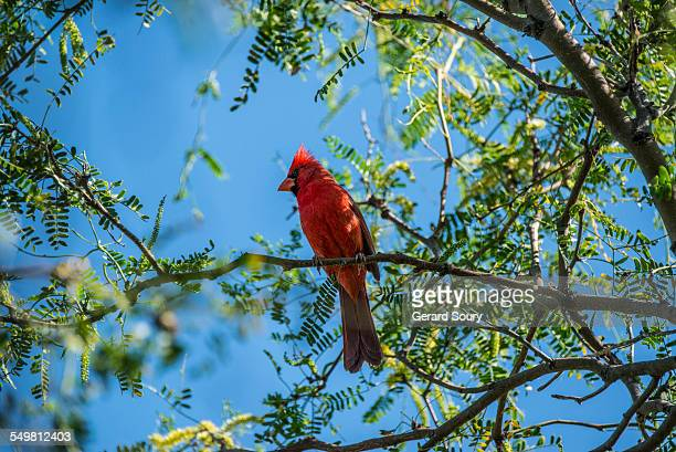 northern cardinal male on a treetop - blue cardinal bird stock pictures, royalty-free photos & images