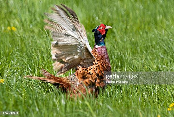 male, or cock pheasant in field with wings raised - ウェルシュプール ストックフォトと画像