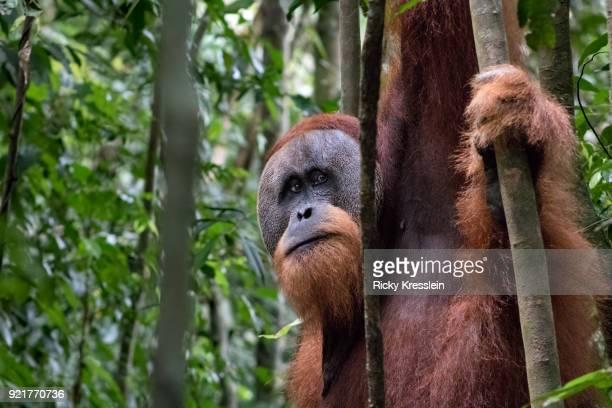 Male Orangutan In Jungle
