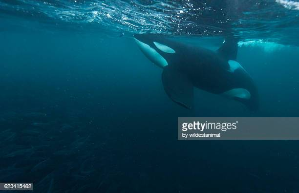 male orca feeding - killer whale stock pictures, royalty-free photos & images