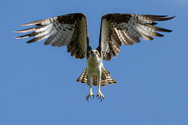 Male Osprey Wall Art