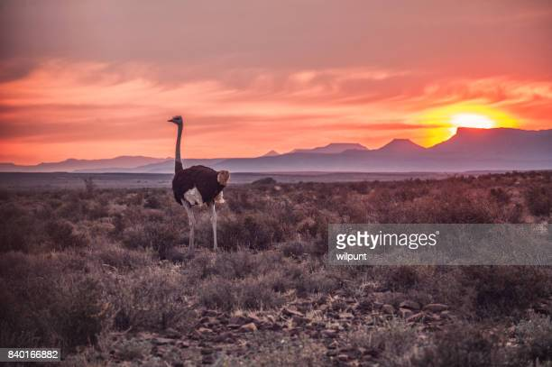 male ostrich at sunset - the karoo stock photos and pictures