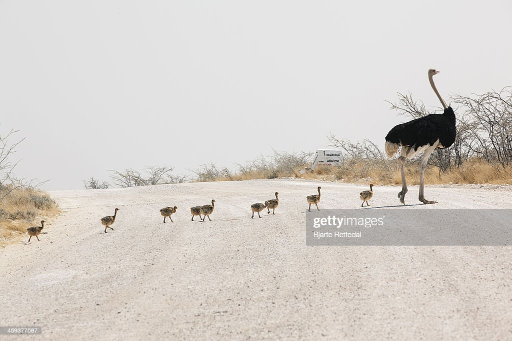 Male Ostrich crossing road with chicks in Etosha National Park, Namibia