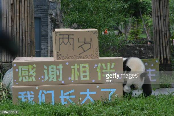 Male panda Bing Bing plays during his twoyearold birthday celebration at the Dujiangyan base of the China Conservation and Research Center for Giant...
