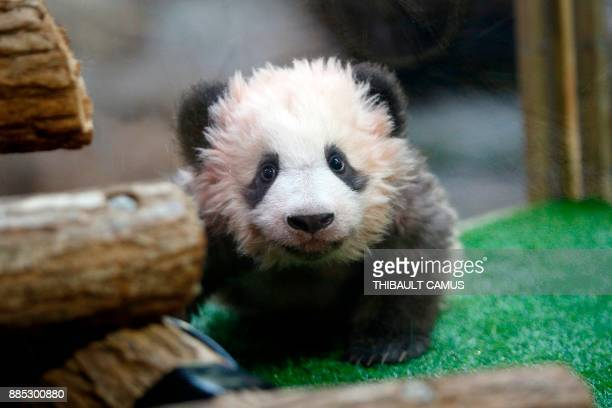 TOPSHOT Male panda cub Yuan Meng which was born at the Beauval zoo is pictured on December 4 2017 in SaintAignansurCher during its naming ceremony...