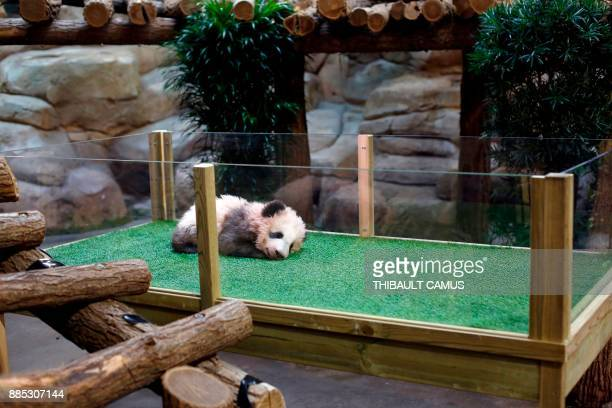 Male panda cub Yuan Meng which was born at the Beauval zoo is pictured on December 4 2017 in SaintAignansurCher during its naming ceremony The...