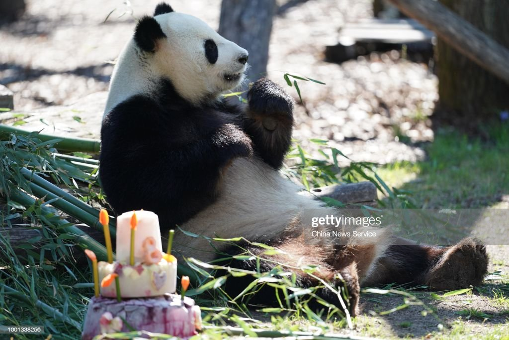 Male Panda Jiao Qing Celebrates Eighth Birthday In Berlin