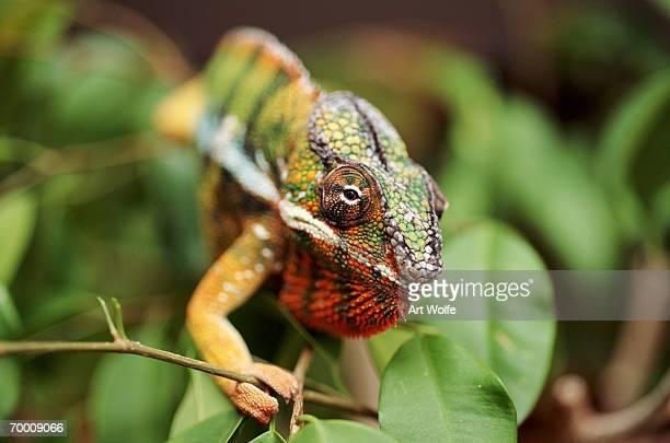 Male Panther Chameleon (Cameleo pardalis), Madagascar
