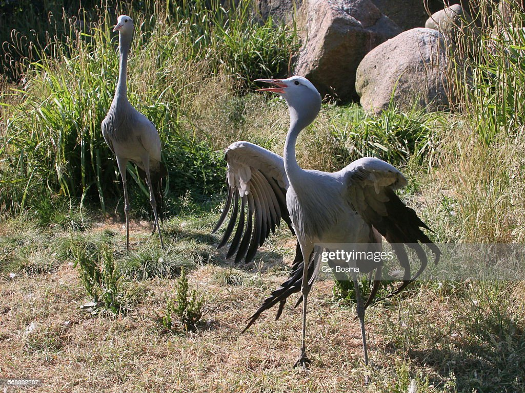 Male paradise crane displaying : Stock Photo