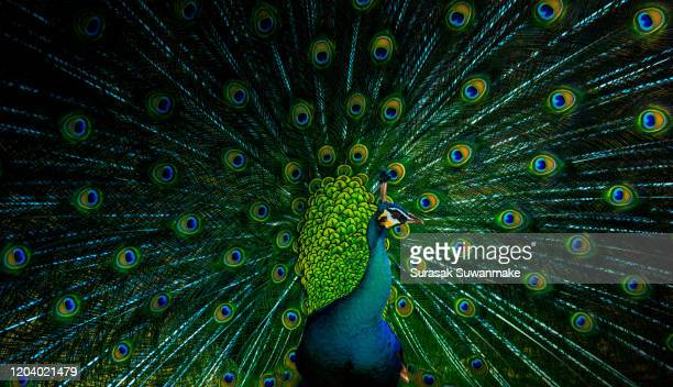 male peacock dancing gracefully and colorful - paon photos et images de collection