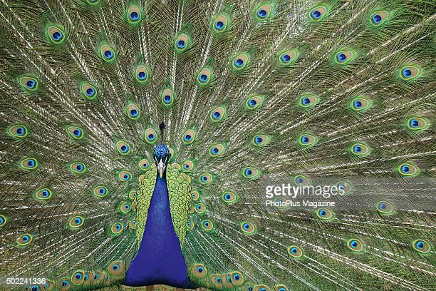 A male peacock displaying its tail feathers taken on April 27 2015