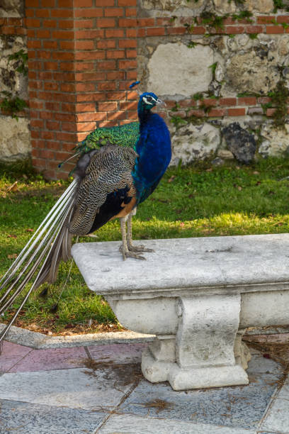 Male peacock on stone bench