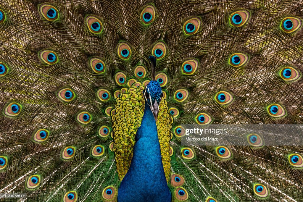 A male peacock (Pavo cristatus) showing its colorful... : News Photo