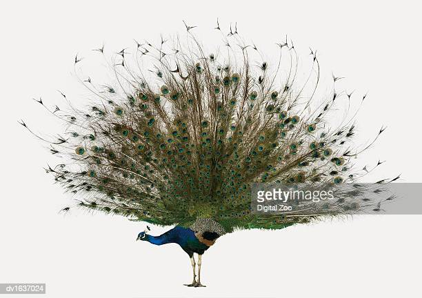 male peacock with its tail displayed - peacock stock pictures, royalty-free photos & images