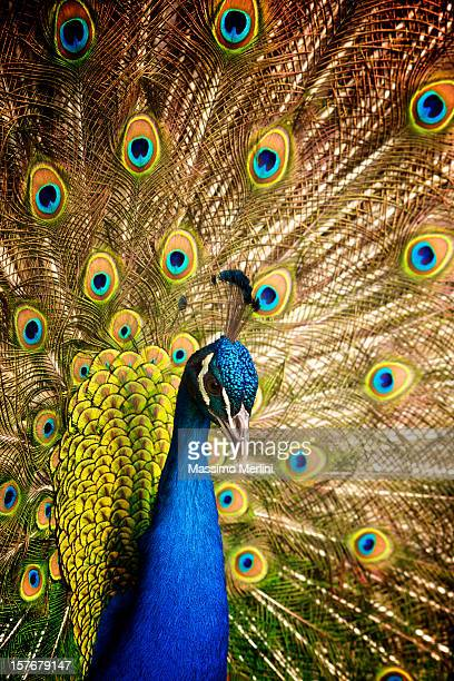 male peacock with its tale wide open