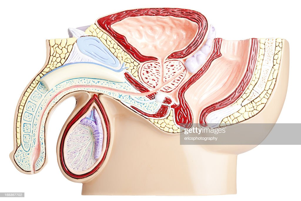 Male pelvis on white background : Stock Photo