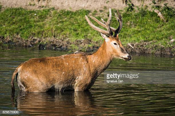 male pere david's deer (milu) in the water - ignatius tan stock photos and pictures