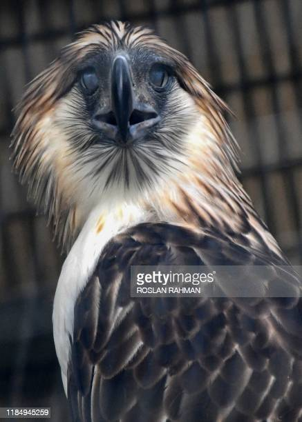 Male Philippine eagle named Geothermica is seen in an exclosure at Jurong Bird Park in Singapore on November 27, 2019. - Singapore unveiled two...
