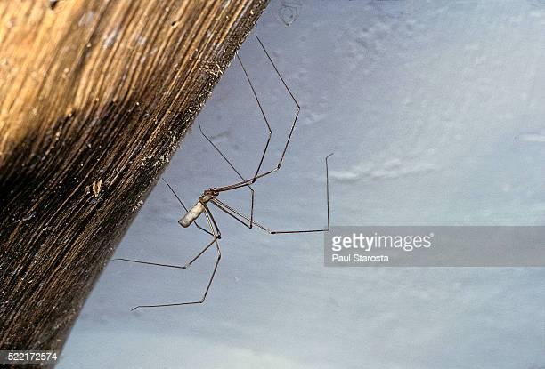(long-bodied cellar spider, daddy longlegs spider) - male - spider fotografías e imágenes de stock