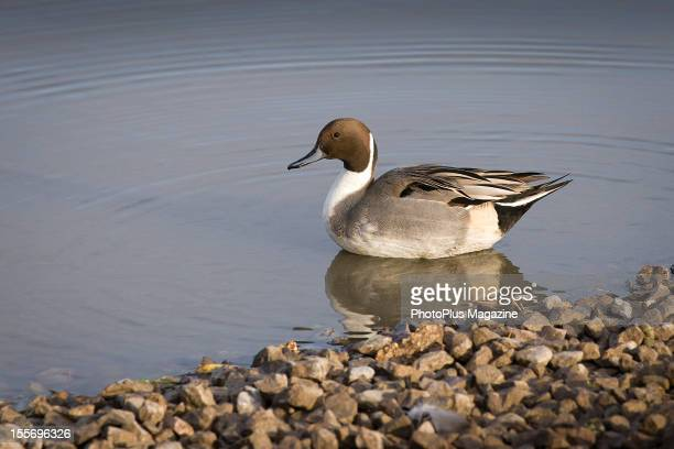 A male Pintail duck on the edge of a pond taken on November 24 2011
